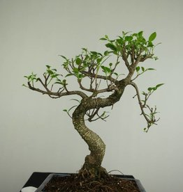 Bonsai Fig Tree, Ficus retusa, no. 7276