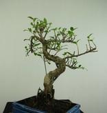 Bonsai Chin. Feigenbaum, Ficus retusa, nr. 7283