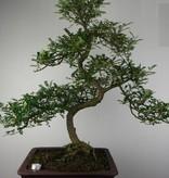 Bonsai Pfefferbaum, Zanthoxylum piperitum, nr. 7292