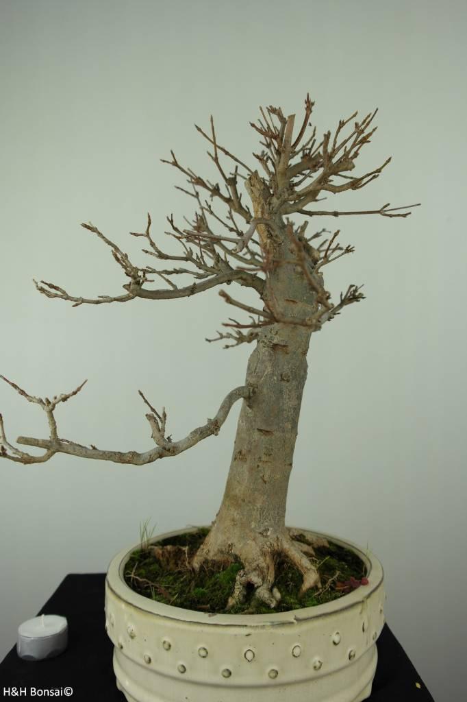 Bonsai Dreispitzahorn, Acer buergerianum, nr. 7298