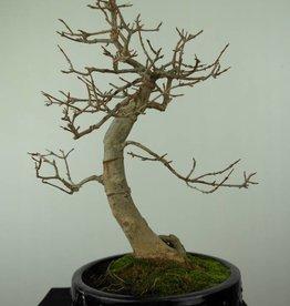 Bonsai Trident maple, Acer buergerianum, no. 7299