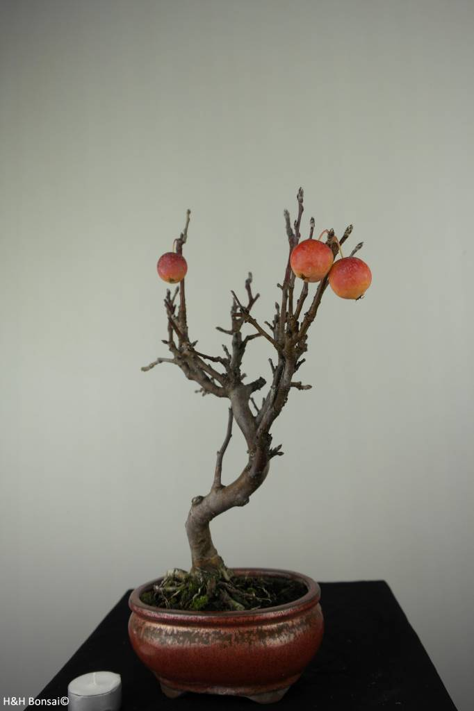 Bonsai Hall crab apple, Malus halliana, no. 6612