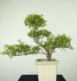 Bonsai Japanische Stechpalme, Ilex crenata, nr. 6718