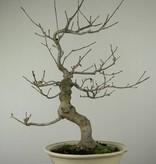 Bonsai Japanese Winterberry, Ilex serrata, no. 6780