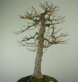 Bonsai Jap. Fächerahorn, Acer palmatum, nr. 6784