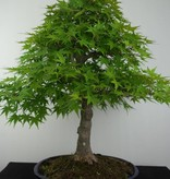 Bonsai Japanese maple, Acer palmatum, no. 6784