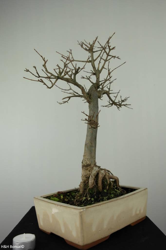 Bonsai Dreispitzahorn, Acer buergerianum, nr. 6910
