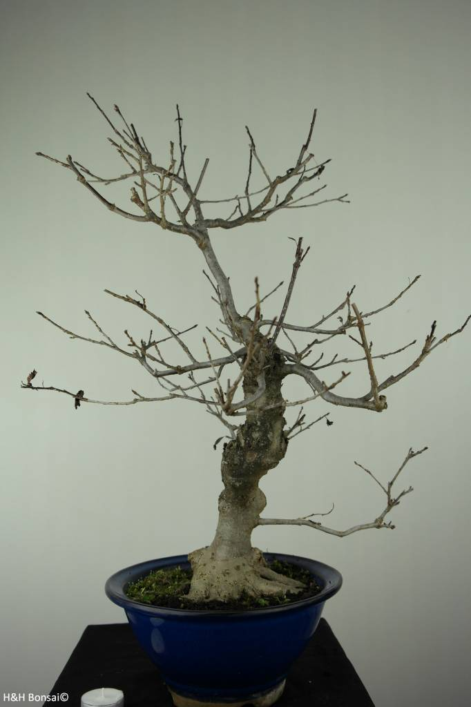 Bonsai Jap. Winterbeere, Ilex serrata, nr. 6955