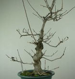Bonsai Japanese Winterberry, Ilex serrata, no. 7048