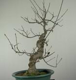 Bonsai Jap. Winterbeere, Ilex serrata, nr. 7048