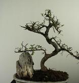 Bonsai Chin. Ulme mit Stein, Ulmus, nr. 7307