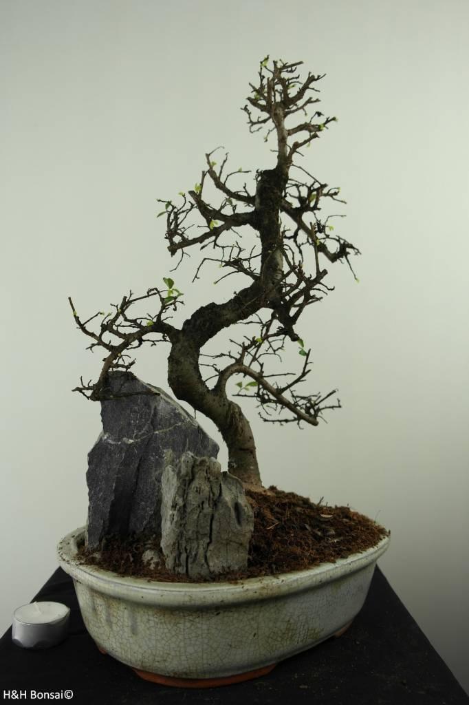 Bonsai Chinese Elm with rock, Ulmus, no. 7308