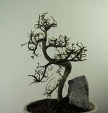 Bonsai Chin. Ulme mit Stein, Ulmus, nr. 7309