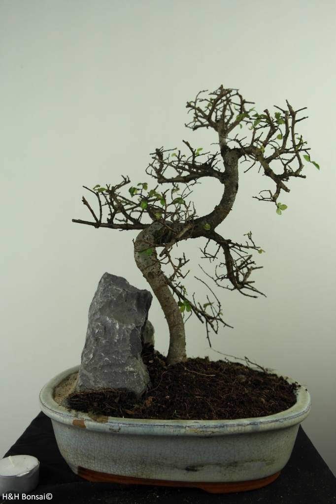 Bonsai Chinese Elm with rock, Ulmus, no. 7309