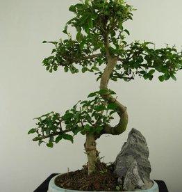Bonsai Ligustrum nitida, nr. 7312