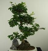 Bonsai Ligustrum nitida, nr. 7315