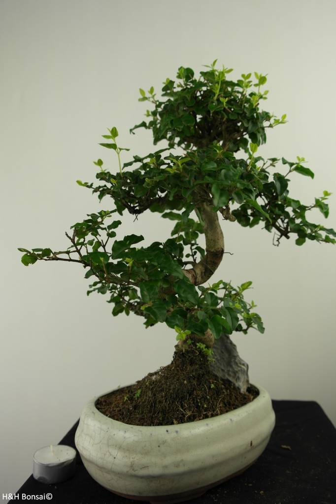 Bonsai Privet, Ligustrum nitida, no. 7315