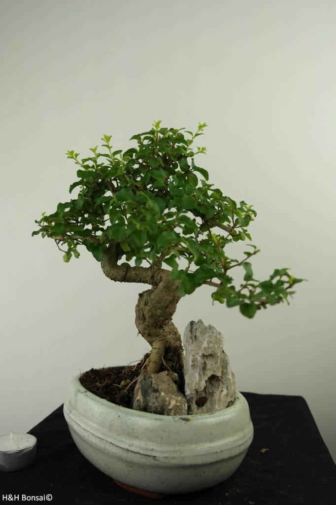 Bonsai Privet,Ligustrum nitida, no. 7316