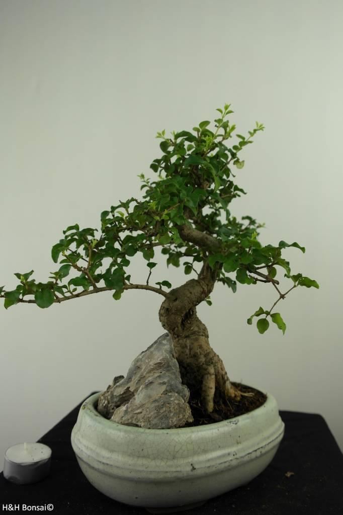 Bonsai Ligustrum nitida, nr. 7316