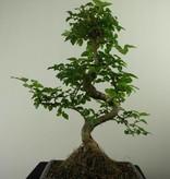 Bonsai Privet,Ligustrum nitida, no. 7322