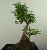 Bonsai Privet,Ligustrum nitida, no. 7325