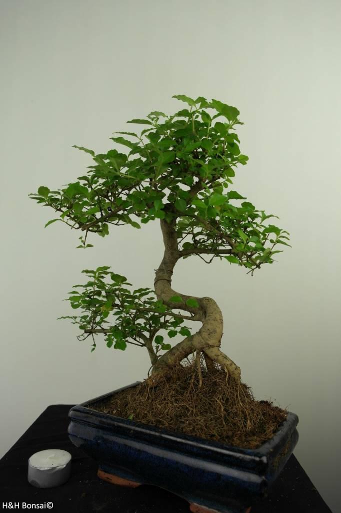 Bonsai Ligustrum nitida, nr. 7325