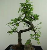 Bonsai Chin. Ulme mit Stein, Ulmus, nr. 7326