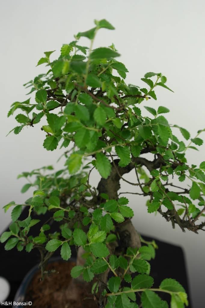 Bonsai Chin. Ulme mit Stein, Ulmus, nr. 7328