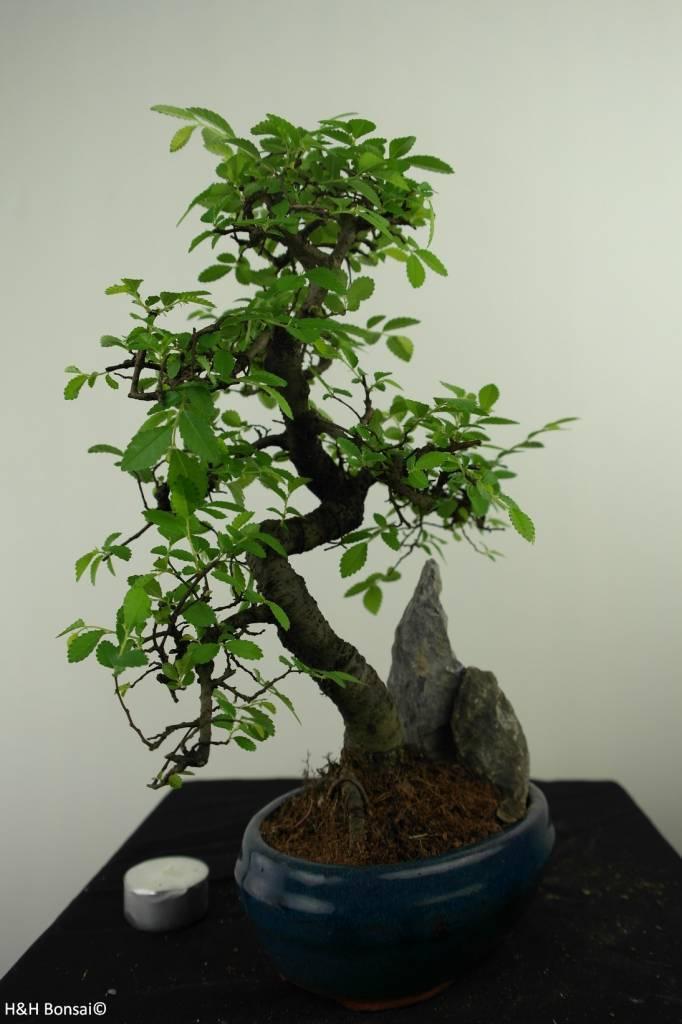 Bonsai Chin. Ulme mit Stein, Ulmus, nr. 7329