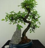 Bonsai Chinese Elm with rock, Ulmus, no. 7329
