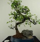Bonsai Chin. Ulme mit Stein, Ulmus, nr. 7330