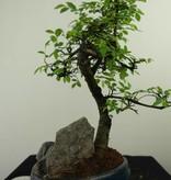Bonsai Chin. Ulme mit Stein, Ulmus, nr. 7331