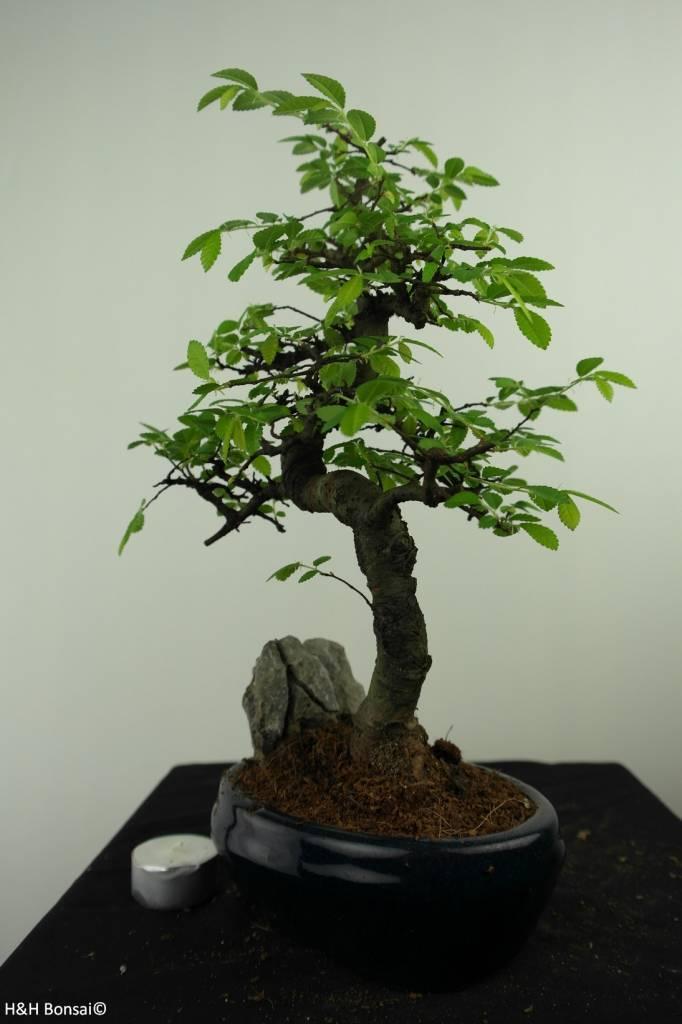 Bonsai Chinese Elm with rock, Ulmus, no. 7332