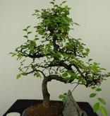 Bonsai Chin. Ulme mit Stein, Ulmus, nr. 7335