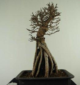 Bonsai Zelkova nire, no. 7348