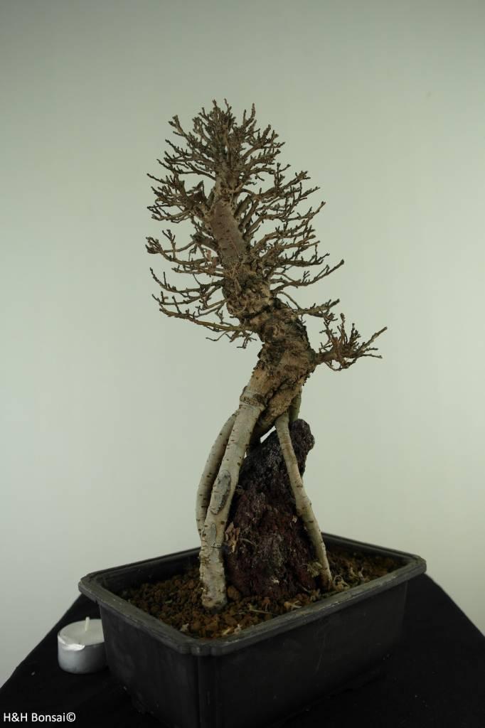 Bonsai Schwarze Zelkove, Zelkova nire, nr. 7348