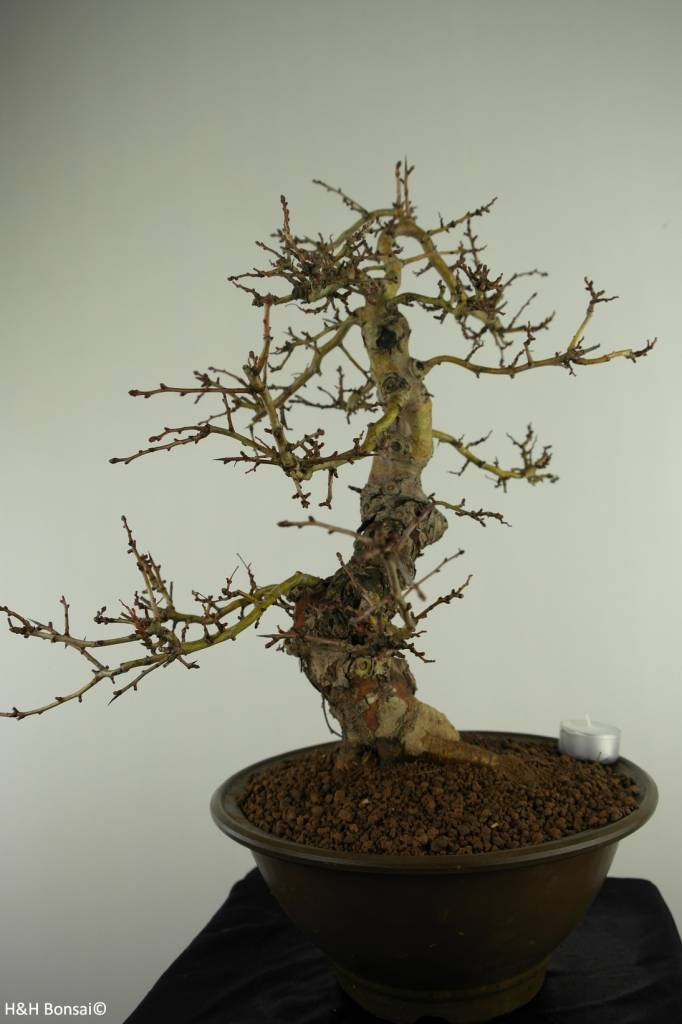 Bonsai Rotdorn, Crataegus cuneata, nr. 7352