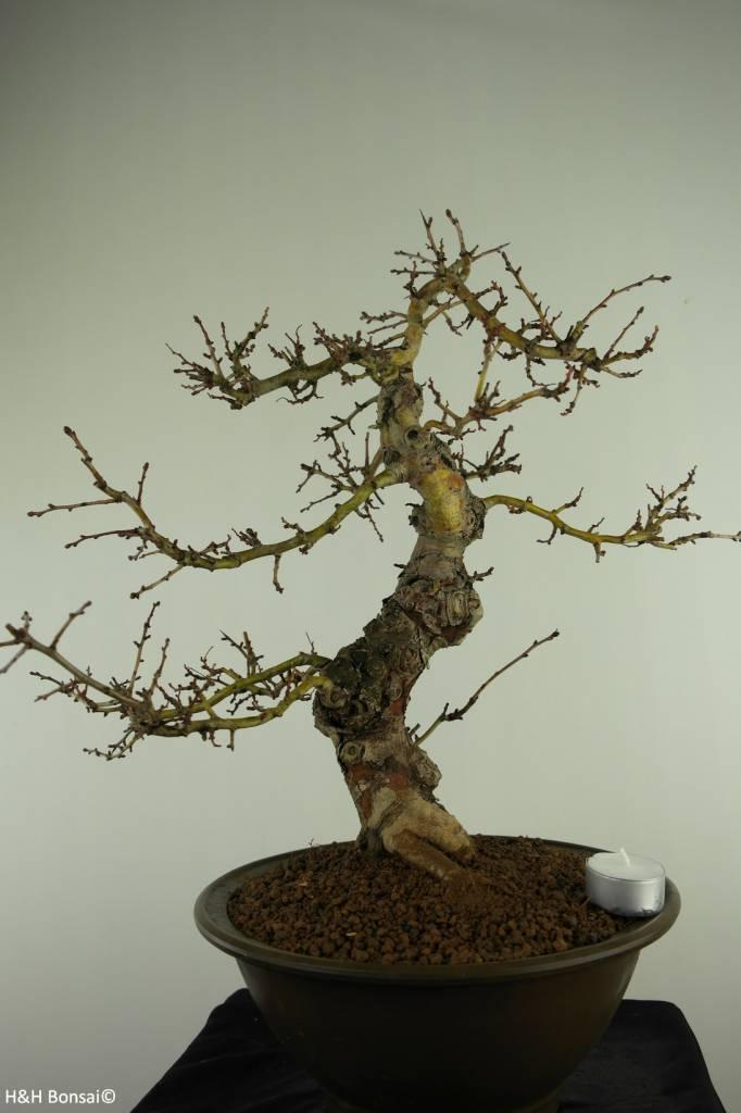 Bonsai Hawthorn, Crataegus cuneata, no. 7352
