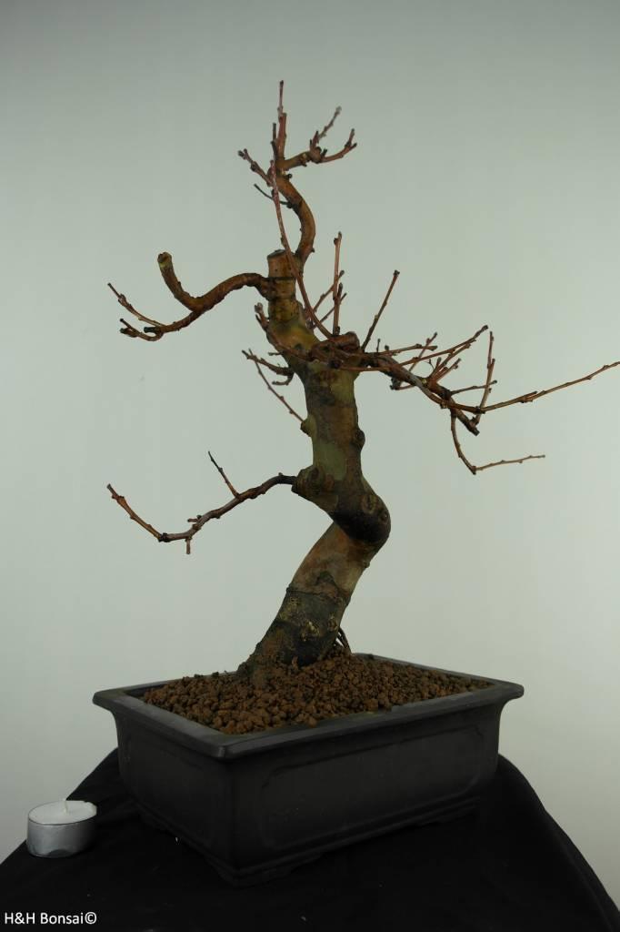 Bonsai Chin. Quitte, Pseudocydonia sinensis, nr. 7369