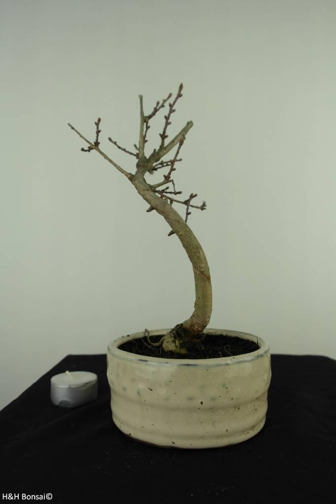 Bonsai Goldlärche, Pseudolarix amabilis, nr. 7389