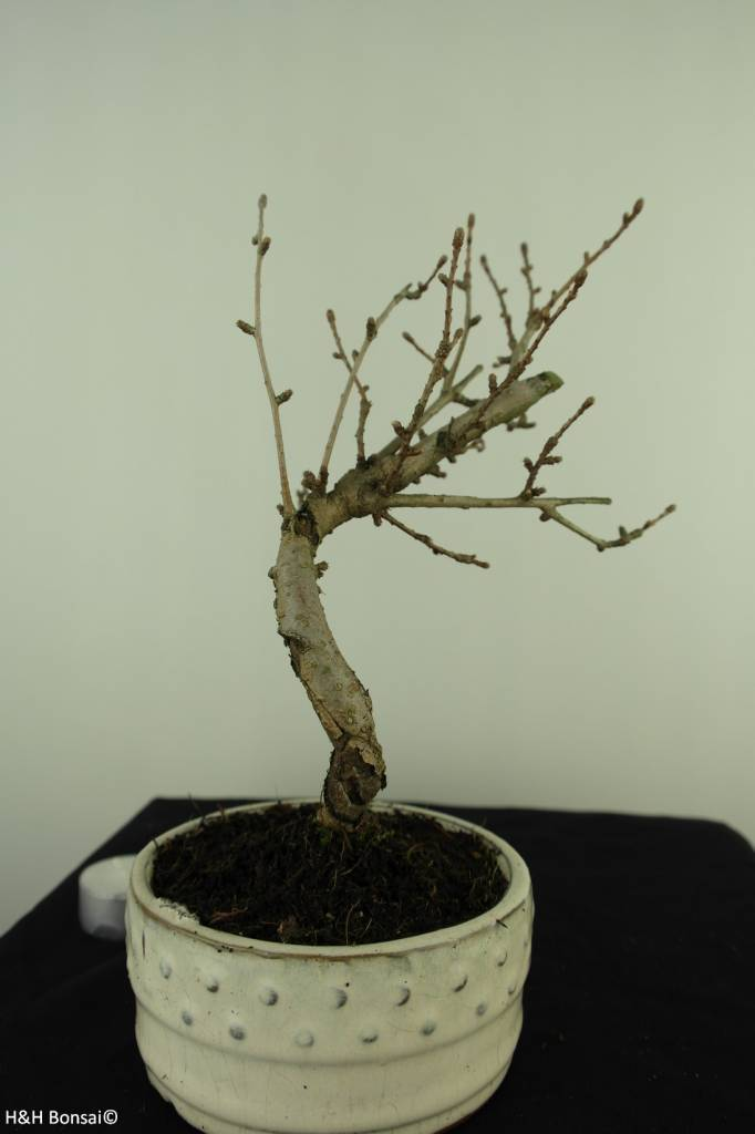 Bonsai Goldlärche, Pseudolarix amabilis, nr. 7394