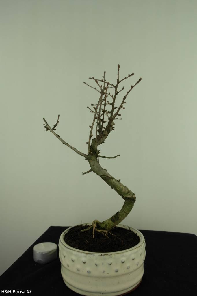 Bonsai Goldlärche, Pseudolarix amabilis, nr. 7395