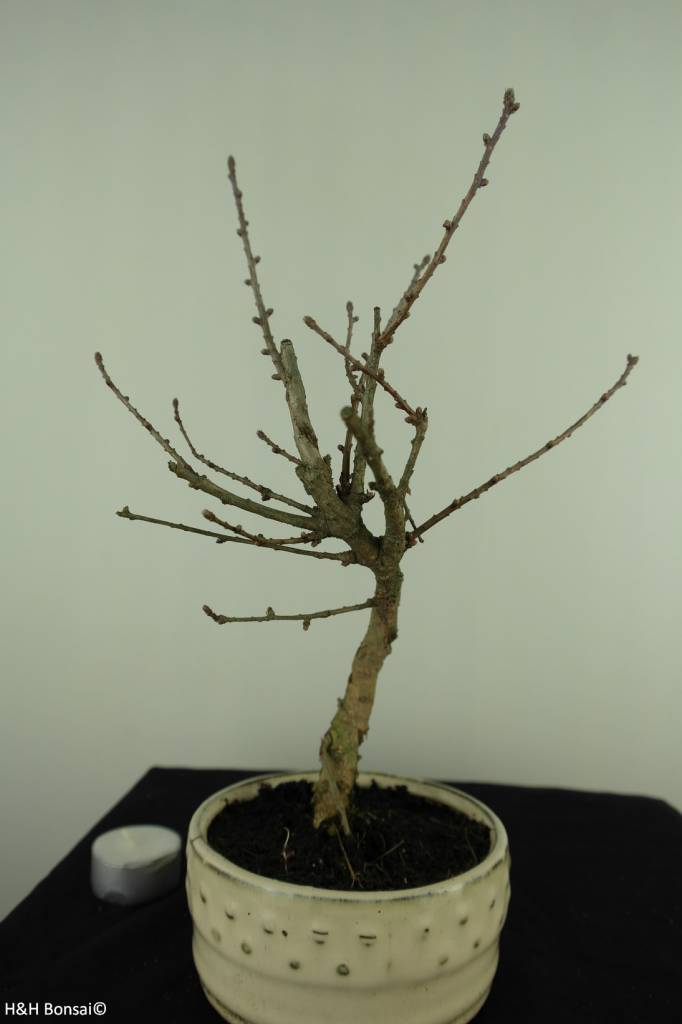 Bonsai Goldlärche, Pseudolarix amabilis, nr. 7396