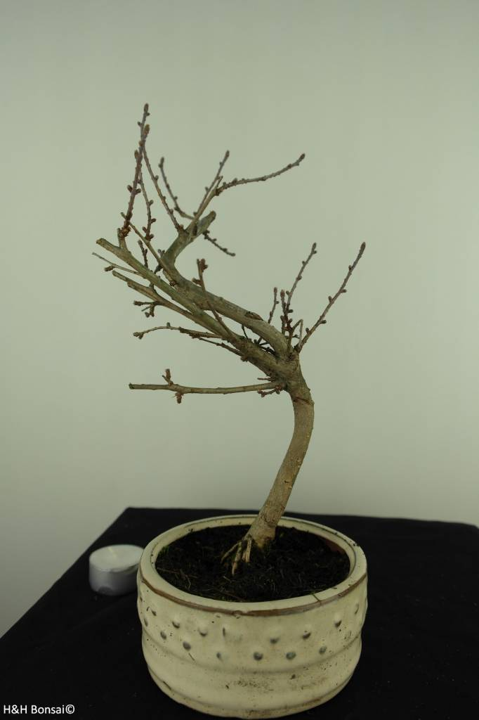 Bonsai Goldlärche, Pseudolarix amabilis, nr. 7397