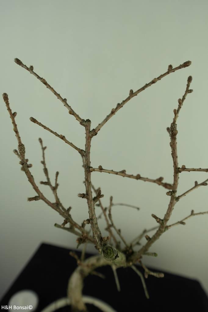 Bonsai Goldlärche, Pseudolarix amabilis, nr. 7398