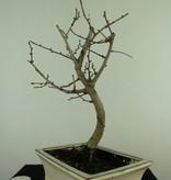 Bonsai Goldlärche, Pseudolarix amabilis, nr. 7399