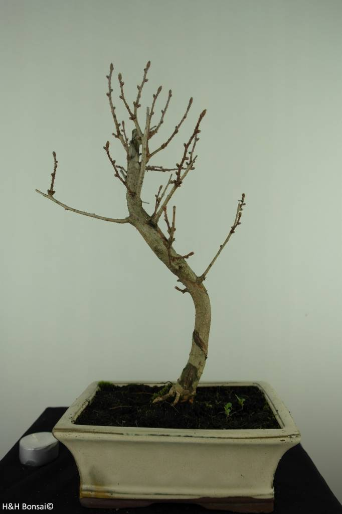 Bonsai Goldlärche, Pseudolarix amabilis, nr. 7400