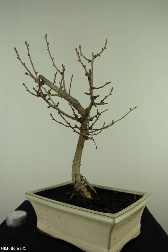 Bonsai Goldlärche, Pseudolarix amabilis, nr. 7403