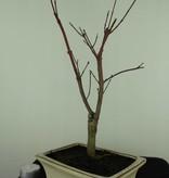 Bonsai Jap. Fächerahorndeshojo, Acer palmatum deshojo, nr. 7409