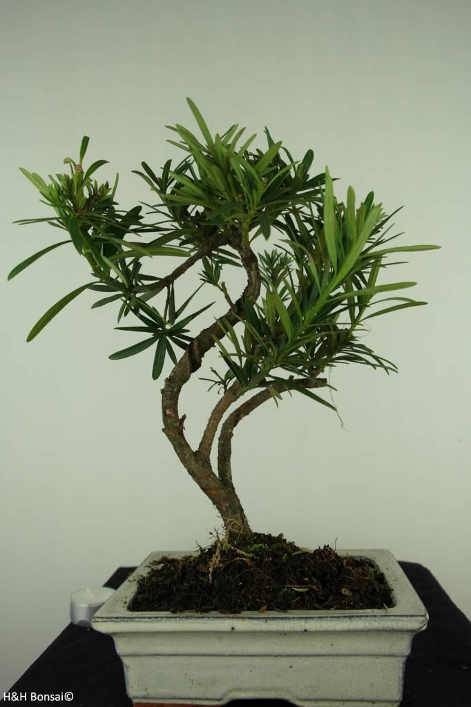 Bonsai Chin. Steineibe, Podocarpus, nr. 7415